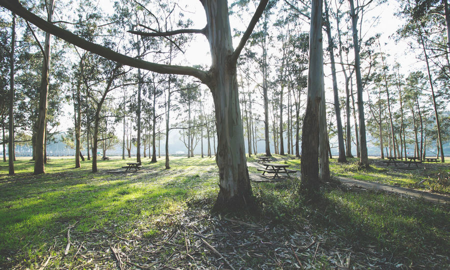 Eucalyptus trees in a picnic area Asturias Beauty In Nature Day Eucalyptus Eucalyptus Tree Europe Forest Grass Landscape Light Light And Shadow Lush - Description Natural Nature No People Outdoors Park Picnic Area Picnic Table Relax SPAIN Tranquility Tree Tree Trunk Trees