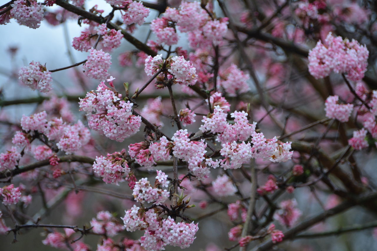 flower, fragility, beauty in nature, growth, pink color, freshness, cherry blossom, blossom, branch, nature, tree, springtime, cherry tree, petal, no people, botany, day, close-up, twig, outdoors, apple blossom, blooming, orchard, flower head, plum blossom, focus on foreground, backgrounds, low angle view