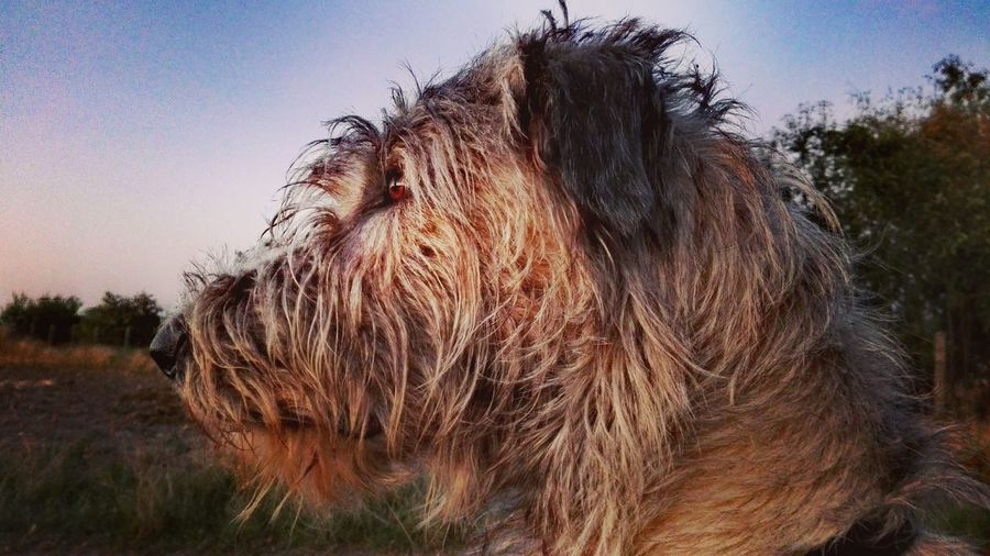 Nature Field Animal Hair Tranquility Brown Outdoors September 2016 Showcase September Summer ☀ Summer 2016 How Is The Weather Today The Places ı've Been Today Evening Light Dog Of My Life Dogwalk Dogs Of EyeEm Cearnaigh Irish Wolfhound Dogs Of Summer Dogslife Dog Dog Of The Day Evening Sun Evening Light