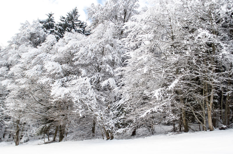 Snow covered trees on snow covered landscape