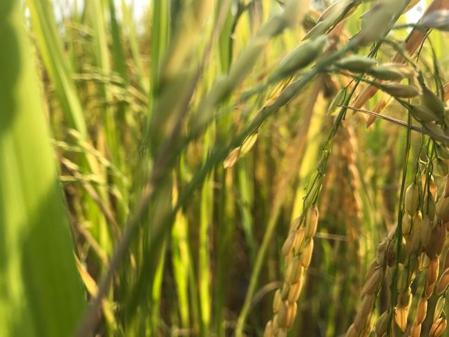The golden rice Plant Growth Green Color Nature Beauty In Nature Day Sunlight