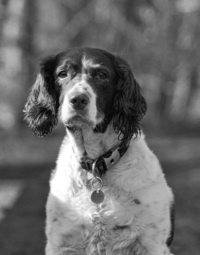 Daisy, out enjoying the afternoon sun Springer Spaniels Relaxing Pet One Animal Gundogs Dog Walking Dog Portrait Domestic Animals Black & White Outdoors