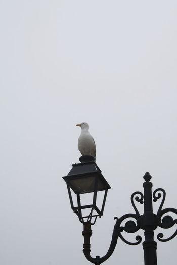 Bird Foggy Grey
