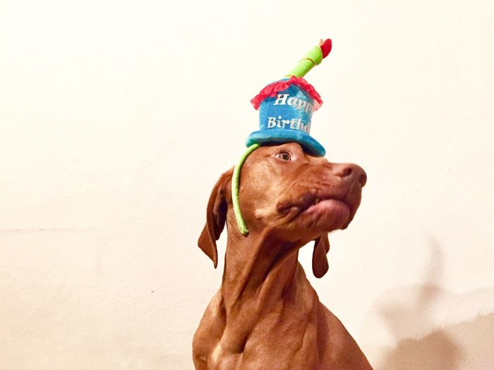 Low angle view of dog wearing party hat while sitting against wall