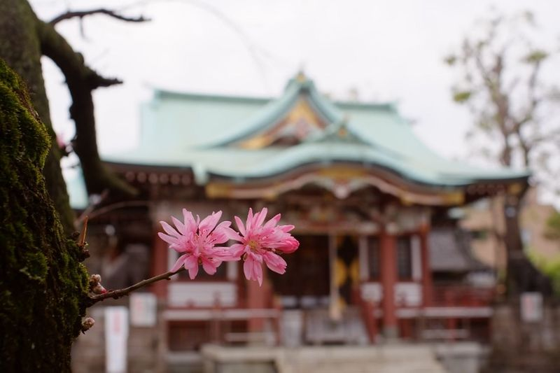 ROKKOR 神社 菊桃 Flower Amygdalus Persica Cv. Tokyo,Japan