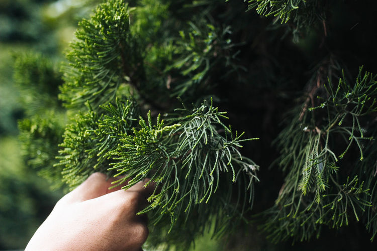 Close-Up Of Hand Holding Pine Tree Branch