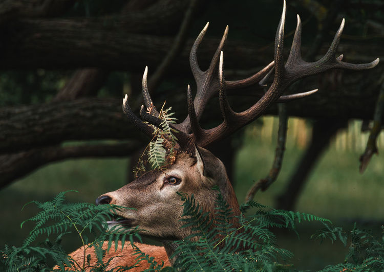 Close-up of deer looking away in forest