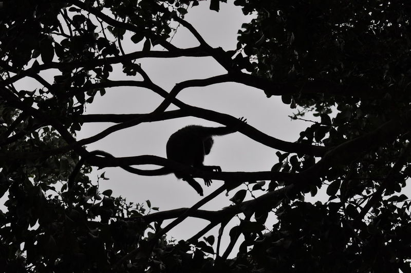 Low angle view of silhouette monkey sitting on branch