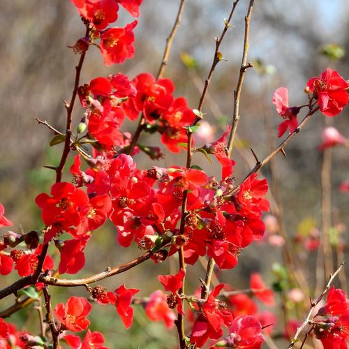 Red Plant Growth Beauty In Nature Close-up Flower Freshness Flowering Plant Focus On Foreground Day Nature Fragility Plant Part Petal Leaf Selective Focus Branch Flower Head Japanese Quince EyeEm Nature Lover EyeEm Gallery