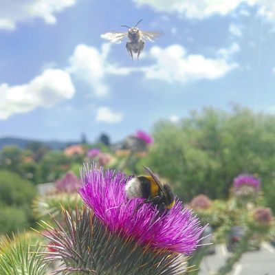 A la rica flor Abeja Nature Spain♥ Abejorro Bee Polen Nature Naturaleza Volar Insecto Insect Thistle Pollination Buzzing Purple Pollen Bumblebee Wildflower Cosmos Flower