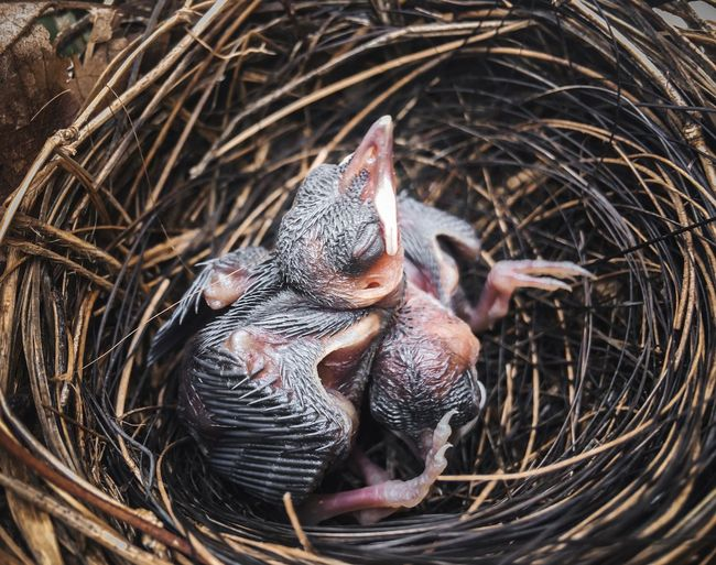 Baby bird Baby Bird Baby Birds Animal Animal Themes Vertebrate Animal Wildlife Animals In The Wild No People Animal Nest Bird Group Of Animals High Angle View Young Animal Nature Outdoors Young Bird Animal Family Mouth Open