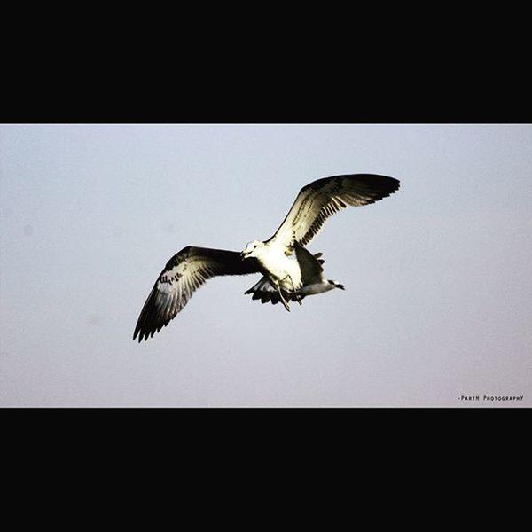 Nalsarovarbirdsanctuary Parthphotography 📷 Winter16 Photography 📷 Morning Seagullbird Flying Bird_photography🐤🐦🐥