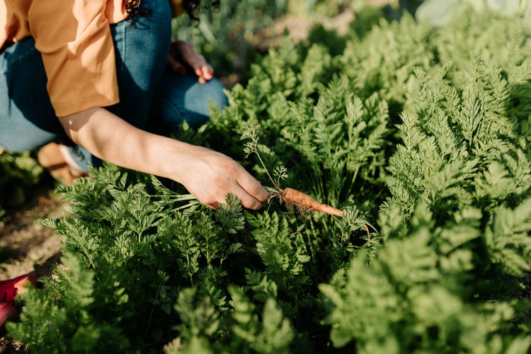 Midsection of woman picking carrots