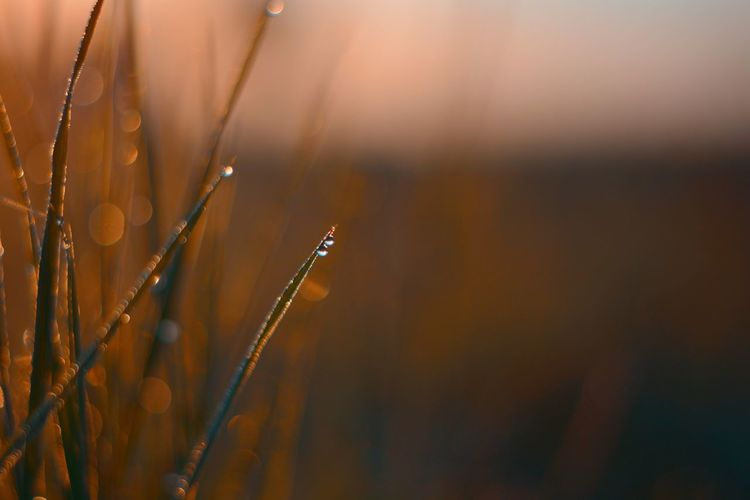 Close-up of wet grass on field during sunset
