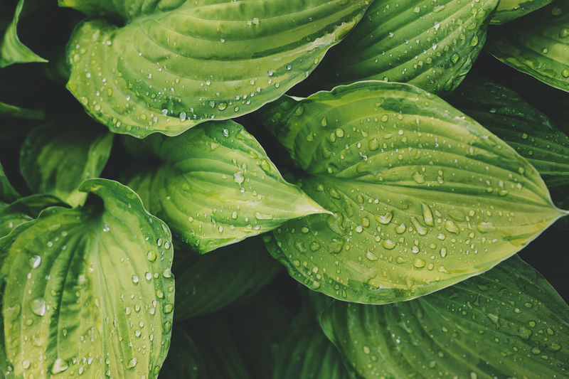 hosta leaves close up in summer garden. Plants for shady places in landscape design. Growth Plant Beauty In Nature Backgrounds Nature No People Day Close-up Outdoors Freshness Wild Garden Leaf Botany Botanical Green Color Summer Texture