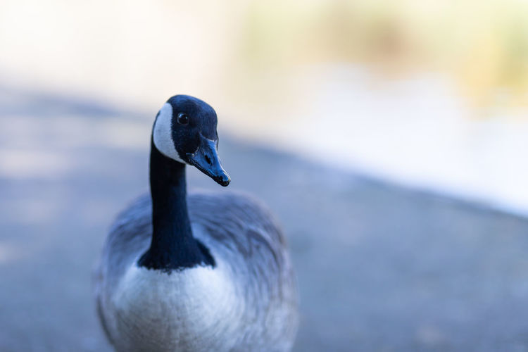 Close-up of canada goose