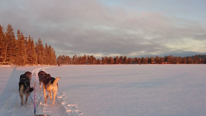 Lapland Finland Outdoors Husky Sleddog Sunset Frozen Lake Snow Safari HuskySafari Cold Temperature Nature Outside Sledge Ride Winter Lake Untouched Untouched Nature The Culture Of The Holidays Traveling Winter Activities Activity Icy Dogs Landescape Snow Sports EyeEmNewHere