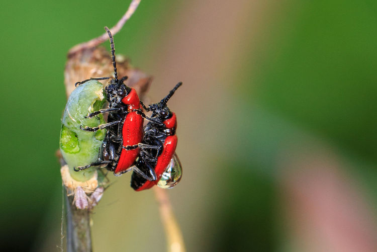 Beauty In Nature Beetle Close-up Day Focus On Foreground Green Color Growth Insect Mating Nature No People Outdoors Plant Selective Focus