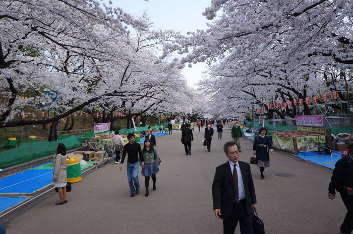 Tokyo in bloom. Ueno Park. Relax Nature Japan Outdoors Cherry Blossoms Blossom Bestpicoftheday Japanese  Sakura Travelphotography Cherry Tree Photooftheday Travel Destinations Tree Flower Blooming In Bloom Ueno Park Ueno Lovejapan Culture Of Japan Wayoflife Traveling Spring