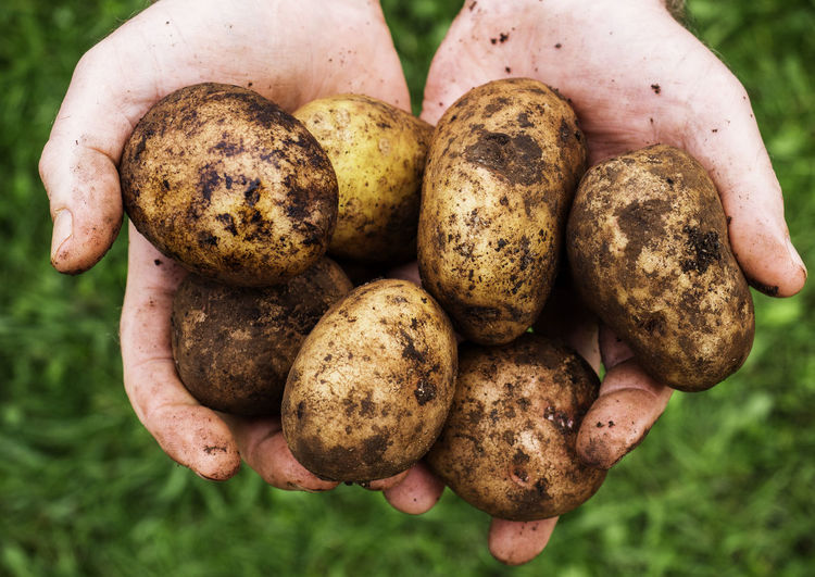 Potato tubers in male hands