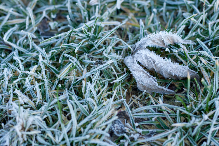 Icy morning Plant No People Green Color Nature Growth Day Close-up High Angle View Land Grass Field Selective Focus Beauty In Nature Outdoors Cold Temperature Hoarfrost Frost Ice Icy Icy Leaf Icy Grass Backgrounds