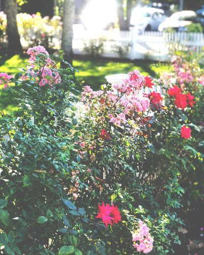 Flower Plant Growth Beauty In Nature Freshness Nature Sunlight Green Color Pink Color Garden Day Outdoors