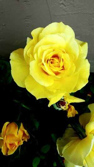 Roses Roses_collection Roses🌹 Rose🌹 Rose - Flower Rose Flower Rosé Yellow Flower Yellow Rose Flower Flower Collection Flower Head Flower Photography Flower Power Nature_collection Nature Photography Nature_collection Nature On Your Doorstep Challenge