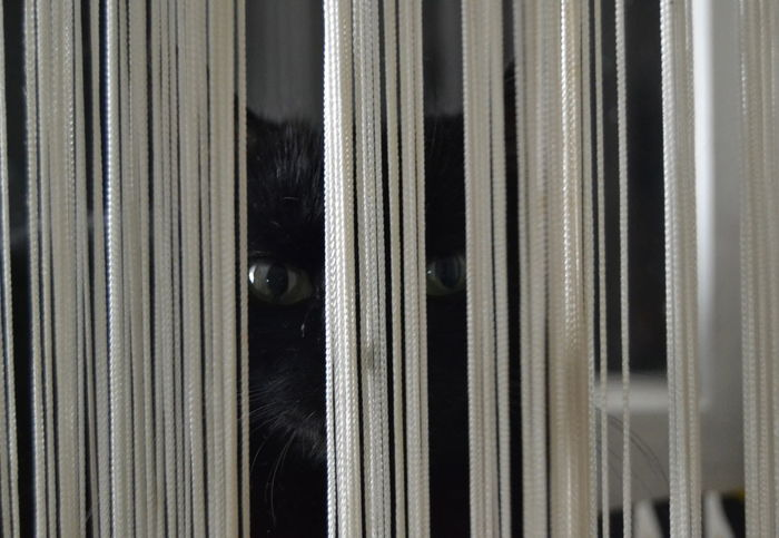 Black Cat Black Cat Photography Black Cats Are Beautiful By The Window Cat Cat, Behind The Curtain Cat, Looking At U Green Eyed Cat Green Eyes Indoor IndoorPhotography Indoors  No People Winter Evening