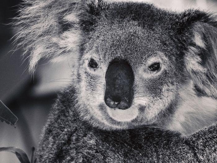 Koala Fluffy Cute Cuddly Bear Animal Themes Animal Wildlife Aninallovers Animal One Animal Wildlife Koala Portrait Headshot Looking At Camera Close-up Lifestyles Body Part