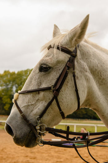 Horses head, shot taken at a training session of horses over jumps. Unfortunately I can't post more photos as most of the riders were under 18 yrs old. Horses Animal Head  Animal Themes Bridle Close-up Domestic Domestic Animals Horse Horse Photography  Working Animal
