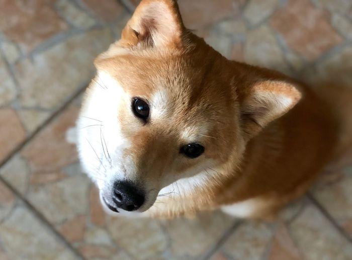 YUMI Shiba Inu YUMImaus EyeEm Selects One Animal Portrait Animal Themes Dog Pets High Angle View Looking At Camera Domestic Animals
