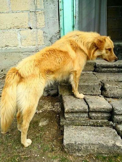 Ovejero Michoacano Cool Dog Mexican Dog
