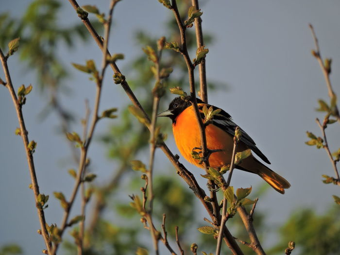 Baltimore Oriole Bird Animal Themes Vertebrate Animal Wildlife One Animal Animal Animals In The Wild Perching Plant Branch Tree No People Day Focus On Foreground Nature Beauty In Nature Outdoors Close-up Songbird  Selective Focus