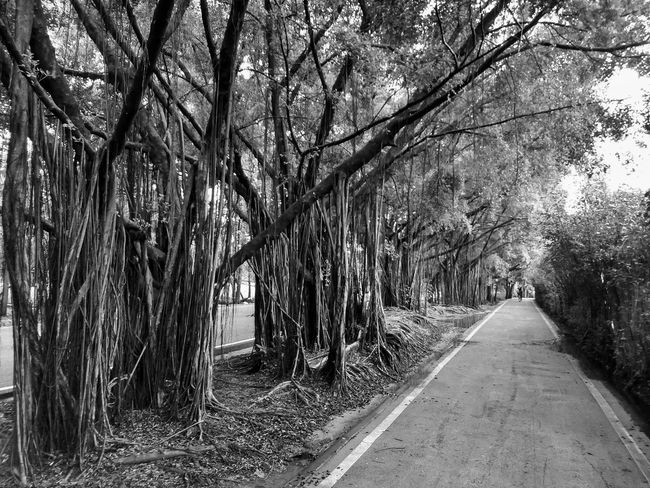 Black And White Black And White Photography Black And White Tree Black And White Tree Trunk Way In The Park Tree View Tree Photography Low Angle View Banyan Banyan Tree Banyan Root Banyan Tree Roots Banyan Tree Trunk Tree Trunk Tree In The Park The Park Big Tree Big Truck Nature Photography Tree In Nature Tree