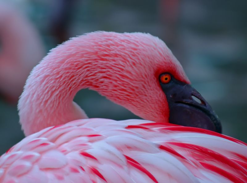 A very Pink Flamingo at resting. Bird Photography Birds Of EyeEm  Birdwatching Feathers Pink Animal Themes Animal Wildlife Animals In The Wild Beak Bird Close-up Day Flamingo Focus On Foreground Nature No People One Animal Outdoors Pink Color Red