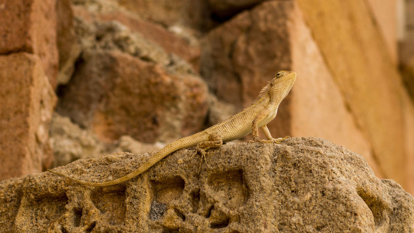 The Indian Chameleon Chameleon Masjid Indian Champaner UNESCO World Heritage Site Close-up Stone Vintage Daylight Nikon D5200 Bearded Dragon Animal Skin Tail Claw