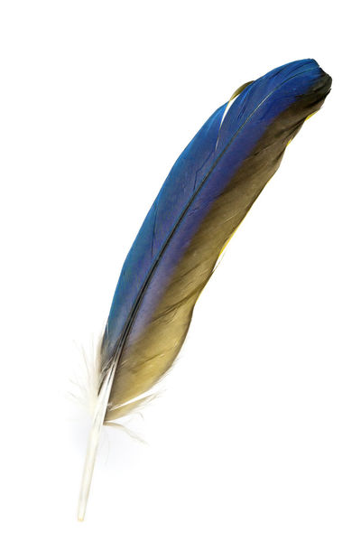 A single feather of a parrot - The blue yellow feather a Blue-and-Gold-Macaw Ara Blue-and-Gold-Macaw Bunt Close-up Cut Out Feather  Feathers Feder Federleicht Fragility Freigestellt Macaw Macaw Parrot Macaws Makro No People Papagei Parrot Single Object Softness Studio Shot White Background