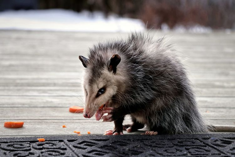 Giving the side eye Ontario, Canada Oppossum Snow Winter Backyardphotography Deck Possum Eating Carrots Day Close-up Teeth Snarling Animal Teeth Mouth Paw My Best Photo