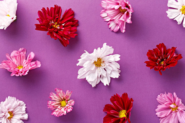 High angle view of carnation flowers against purple background