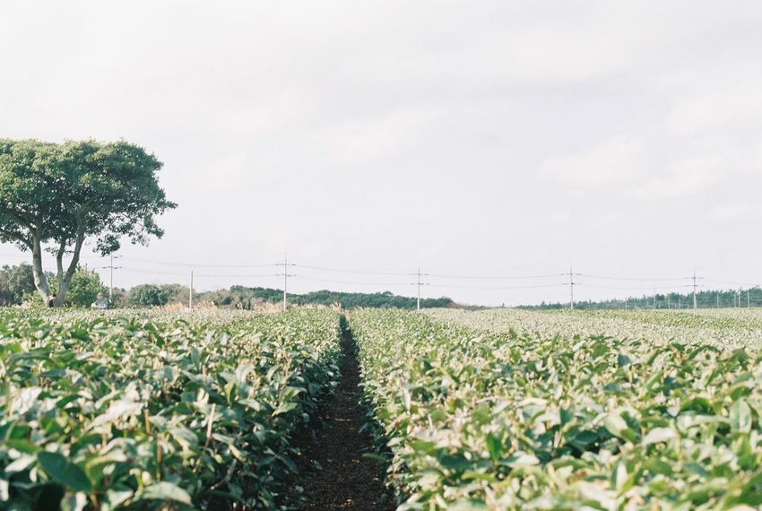 Film Agriculture Beauty In Nature Crop  Day Farm Field Film Photography Freshness Growth Landscape Nature No People Outdoors Plant Rural Scene Scenics Sky Tranquility An Eye For Travel