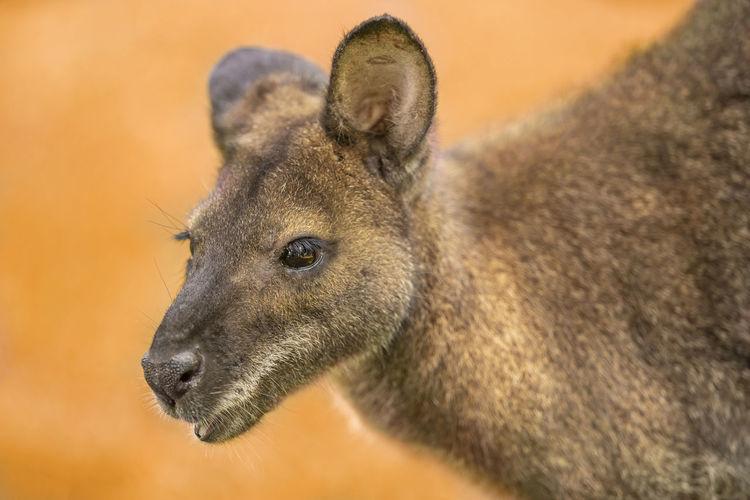 Close-up of kangaroo
