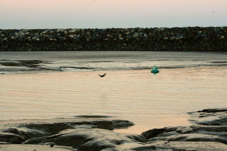 Water Cormorant