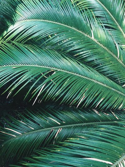Sheffield Green Color Palm Tree Wintergarden Backgrounds Wallpaper No People Leaf Tree Beauty In Nature IPhoneography IPhone Green Green Color Minimal Background Wallpapers WallpaperForMobile Close-up EyeEmNewHere