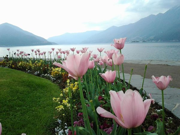 Beauty In Nature Benches Day Flower Flower Head Flowerbeds Flowering Plant Freshness Growth Lake Lakesideview Mountain Mountain Range Nature No People Outdoors Overcast Day Petal Pink Color Plant Scenics - Nature Sky Tulips In The Springtime Water