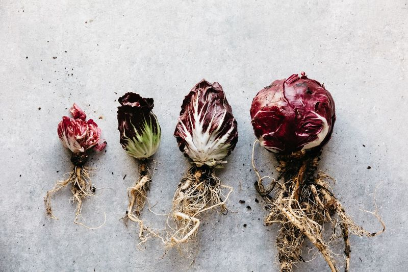 Crops radichio