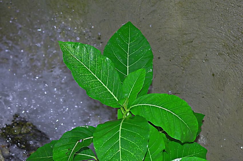 water on speed shots Beauty In Nature Close-up Day Dew Drop Freshness Green Color Growth Leaf Leaf Vein Leaves Nature No People Outdoors Plant Plant Part Rain RainDrop Rainy Season Water Wet