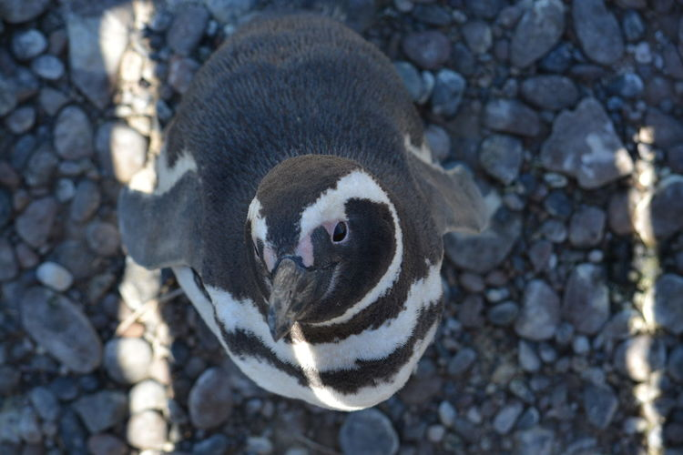 pingüino ,