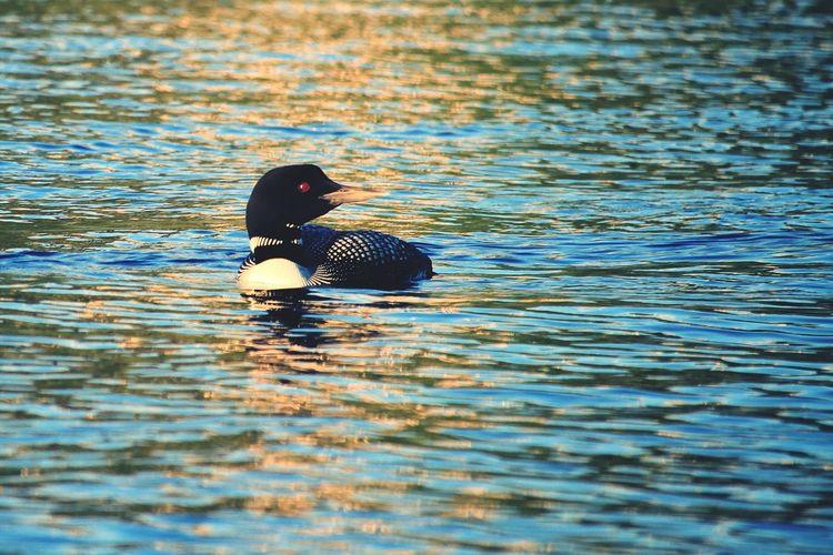 Learn & Shoot: Simplicity Minnesota Nature Birds_collection Loon Eyem Best Shots