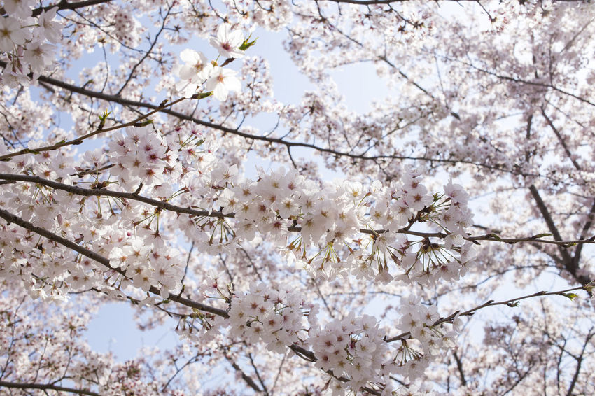 Beauty In Nature Blossom Botany Branch Cherry Blossom Cherry Tree Close-up Day Flower Flower Head Flowering Plant Fragility Freshness Growth Low Angle View Nature No People Outdoors Plant Pollen Spring Springtime Tree Vulnerability  White Color