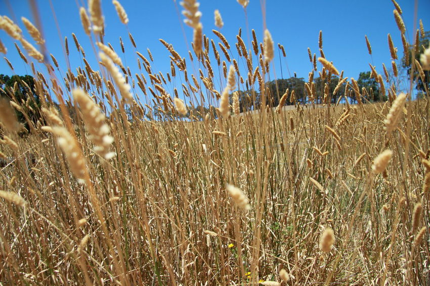 Agriculture Beauty In Nature Blue Sky Cereal Plant Close-up Contrasting Colors Crop  Day Farming Field Grass Growth Nature No People Noedit Nofilter Outdoors Paddock Plant Rural Scene Rye Grass Sky Tranquility Trees And Sky